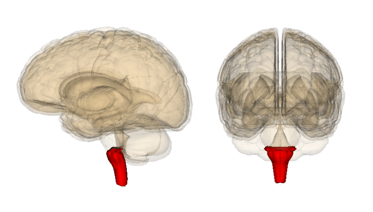 All Facts About Medulla Oblongata - You Ask We Answer